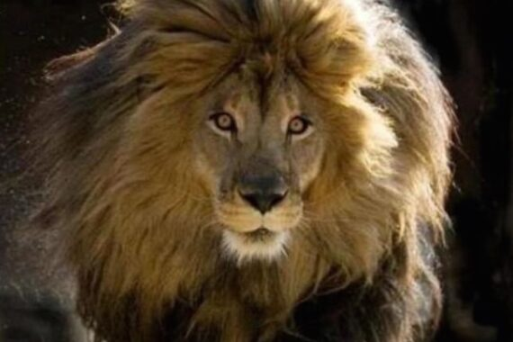 Cecil the lion: update and final consideration