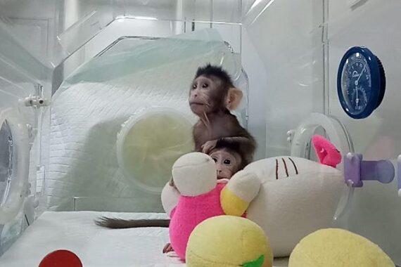 Clonazione di primati: macachi fotocopia e torture cinesi